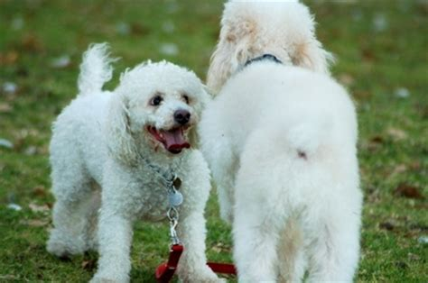 poodle lifespan miniature poodle information about dogs what is the span of a