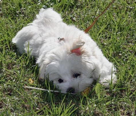 marshmallow dog marshmallow the maltese puppies daily puppy