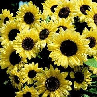 Harga Benih Biji Bunga Matahari bibit bunga matahari
