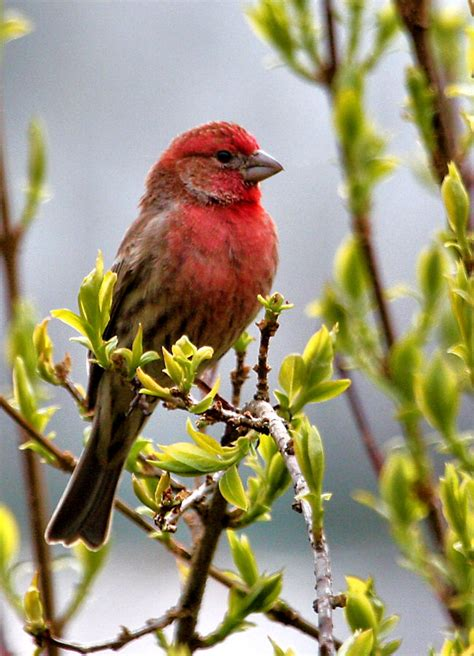 red house finch red finch of springtime
