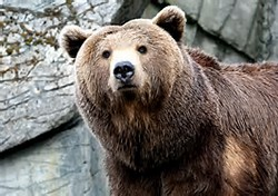 A Is a Grizzly Bear Brown Bear