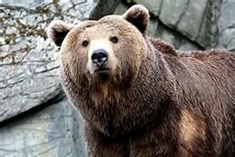 Bear Brown Bear