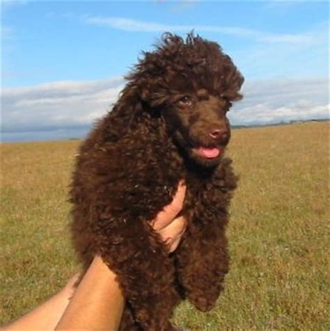 average standard poodle lifespan poodle standard miniature and breed information