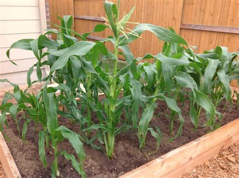 growing corn in raised beds beautiful raised garden bed pictures from austin texas