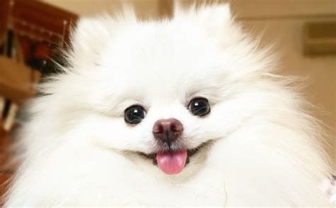 can pomeranians eat peanut butter meet the incredibly fluffy pomeranian who may or may not be a real barkpost