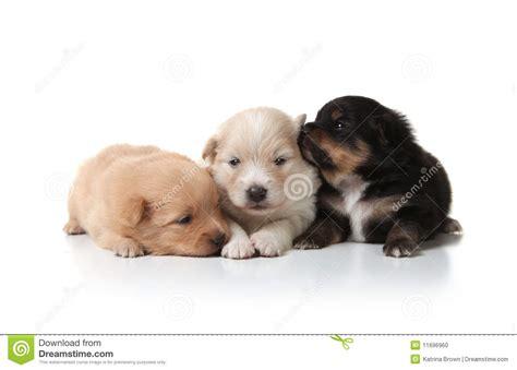 pomeranian cuddly sweet and cuddly pomeranian newborn puppies stock photo image 11696960