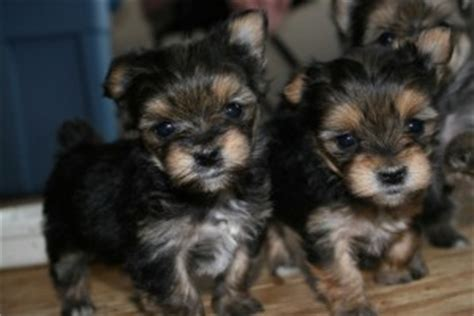 teacup yorkies for sale in augusta ga dogs free classified ads
