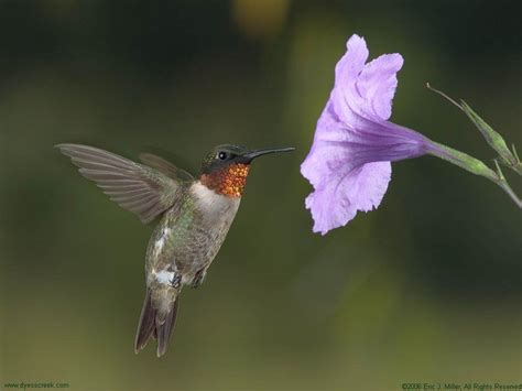 hummingbird wallpaper backgrounds wallpaper cave