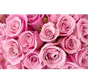 Special Pink Roses Wallpapers  HD