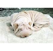 Shar Pei El Perro Toalla &171 No Puedo Creer – Noticias