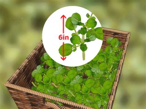 grow watercress  pictures wikihow