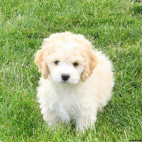 greenfield puppies for sale bichon mix puppies for sale bichon mix breed info greenfield puppies