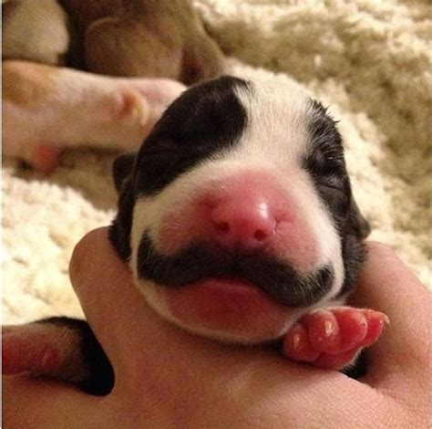 how are puppies born fancy puppy born with a mustache things