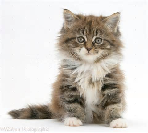 18738-Maine-Coon-<strong>kitten</strong>-7-weeks-old-sitting-white-background.jpg