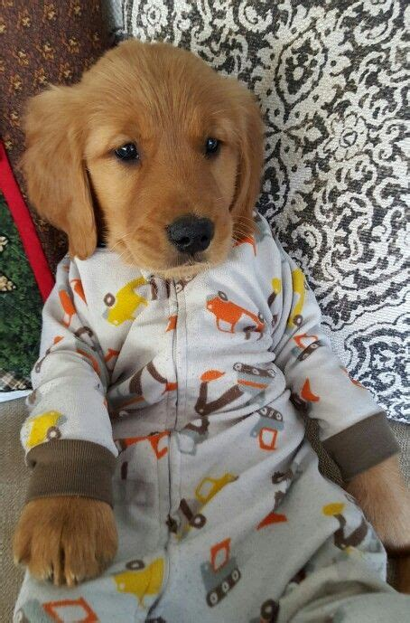 golden retriever pajamas golden retriever puppy in pajamas pj s oliver puppys pajamas and pies
