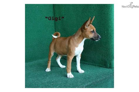 basenji puppies price basenji puppy for sale near brunswick ee3c575c 3cf1