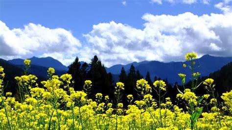 wallpaper bunga resolusi tinggi gunung awan pemandangan pohon alam bunga langit kuning
