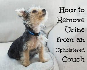how to remove urine smell from couch clean it home ec 101