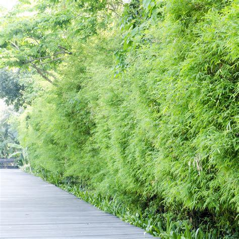 Garten Sichtschutz Bambus Pflanzen by Bambushecke Pflanzen 187 Das Sollten Sie Dabei Beachten