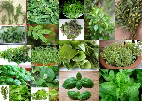 Vege Herbal paddu s tip house herbs and leafy vegetables