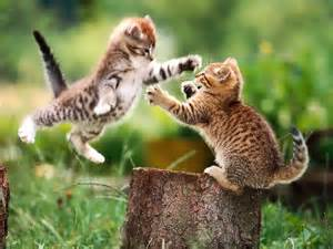 Funny cat fight 11 desktop background funnypicture org