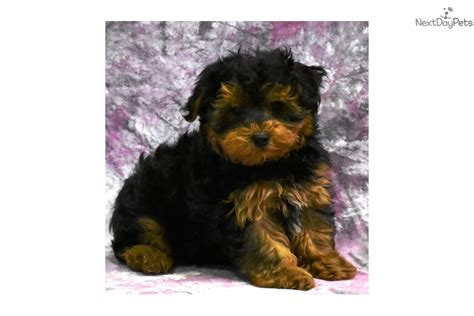 yorkies for sale in nh yorkiepoo yorkiepoo yorkie poo puppy for sale near new hshire c50d4254 58d1