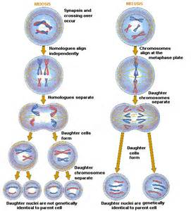 Mitosis diagram as well cell concept map answer key on mitosis and