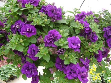 dr dan s garden tips passionate about petunias