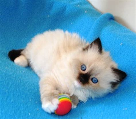 and kitten ragdoll kittens gallery ragdoll cats and kittens kerikeri northland new zealand