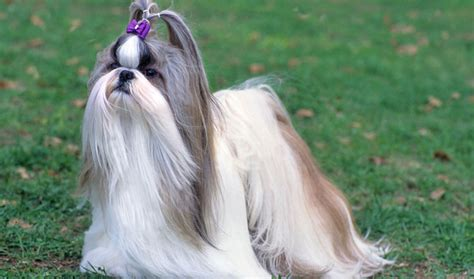 shih tzu breed info shih tzu breed information