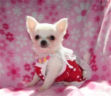 free teacup chihuahua puppies in nc dogs nc free classified ads