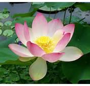 Description Sacred Lotus Nelumbo Nuciferajpg