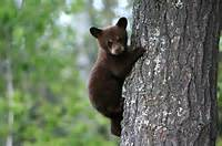 Bear Cubs Like This American Black Are Sometimes Killed By Males