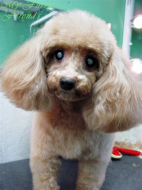 different styles of hair cuts for poodles grooming your furry friend does a poodle have to be