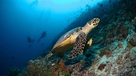maldives dive scuba diving maldives maldives surfing six senses laamu