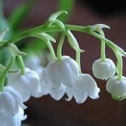 mughetto fiore significato fiori di mughetto fiori di piante