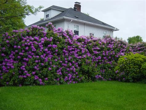 rhododendron hecke rhododendron hedge