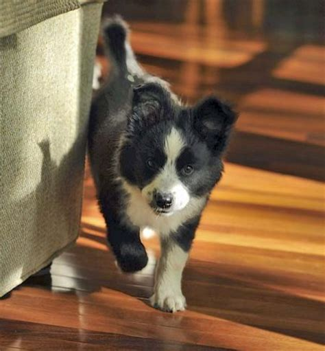 scout puppy scout the border collie mix puppies daily puppy models picture
