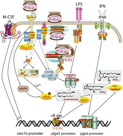 zymosan pattern recognition receptors proposed mechanisms involved in zymosan uptake and