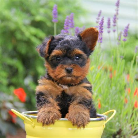 puppies for sale yorkie terrier puppies for sale greenfield puppies