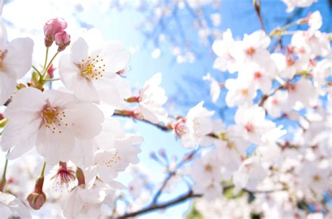 cherry blossom tree facts cherry blossom trivia facts about cherry blossoms