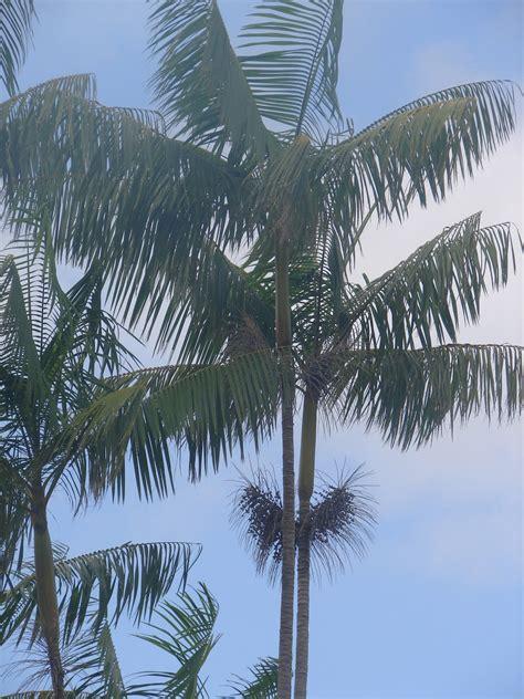 berry tree hawaii polynesian produce stand acai palm tree euterpe
