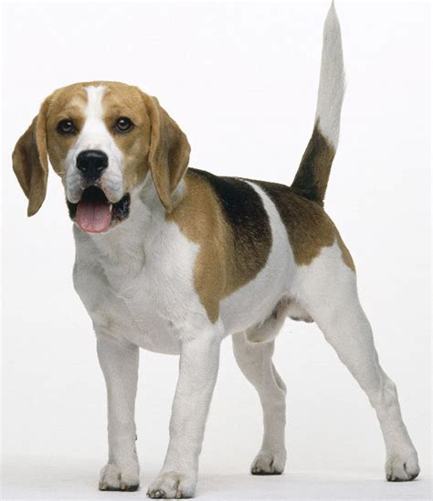 are beagles good house dogs the dog in world beagle dogs
