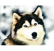 Dogs Siberian Husky