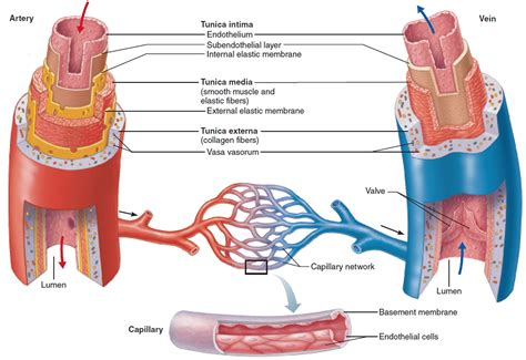 diagram of the blood vessels blood vessels types layers of blood vessels carry