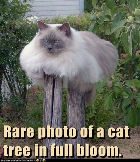 Cat Christmas Tree Meme - big tree cat memes