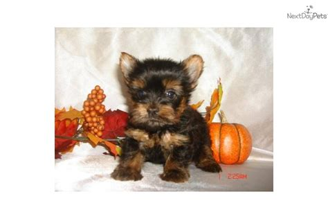 boy teacup yorkie names birds fish snakes ve all our parents puppies images frompo