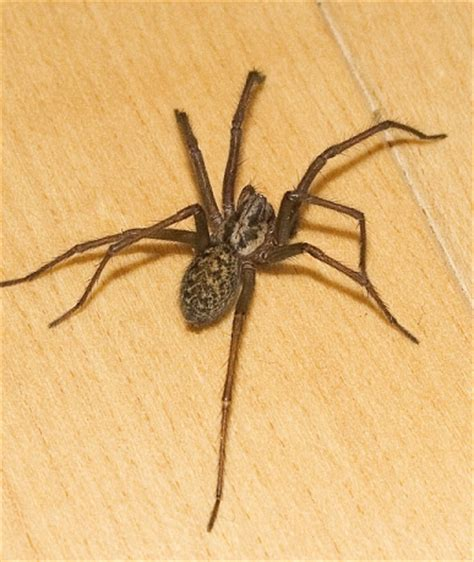 House Spiders by Common House Spider Empire Pest