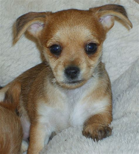 cross yorkie tiny chihuahua cross yorkie boy reduced walsall west midlands pets4homes