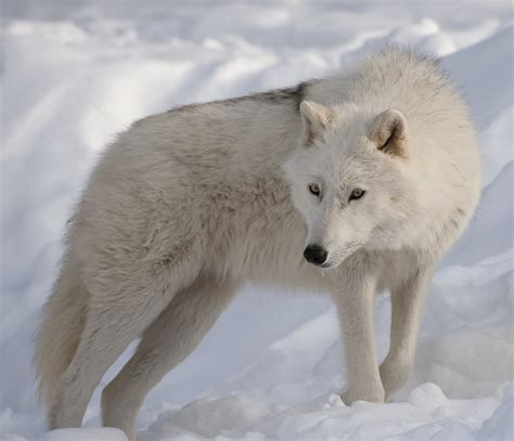 wolf s arctic wolf